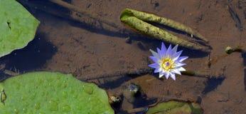 Blauer Lotos an einem ruhigen See Lizenzfreies Stockfoto
