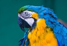 Blauer Macawpapagei Stockfotografie