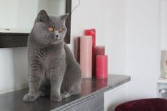 Blauer Mantel der kleinen Katze lizenzfreie stockfotos