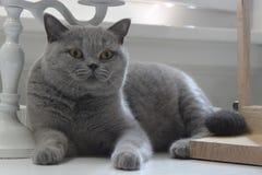 Blauer Mantel der kleinen Katze stockfotos