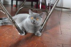 Blauer Mantel der kleinen Katze lizenzfreie stockbilder