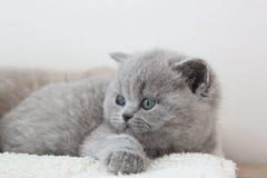 Blauer Mantel des kleinen Kätzchens stockbild