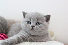 Blauer Mantel des kleinen Kätzchens stockfotografie