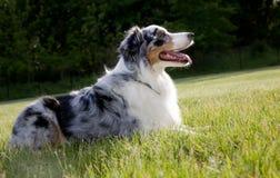 Blauer Merle Australierschäferhund Lizenzfreie Stockfotografie