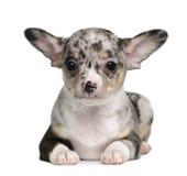 Blauer merle Chihuahua-Welpe, 8 Wochen alt Stockbilder