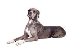 Blauer Merle Great Dane auf Weiß Lizenzfreie Stockfotos