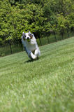 Blauer Merle Tri-color australischer Schäferhund-Betrieb Stockfotos