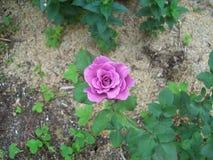 Blauer Mond Rose lizenzfreie stockfotos
