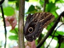 Blauer morpho Schmetterling Lizenzfreies Stockbild