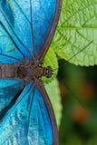 Blauer Morpho-Schmetterling auf einem Blatt stockfotografie