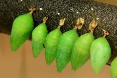 Blauer Morpho-Schmetterling Cacoons Stockfotografie