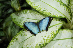Blauer Morpno-Schmetterling (Morpho-peleides) stockfotos
