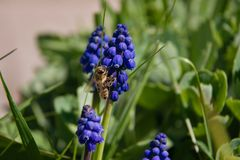 Blauer Muscari und Biene im Gras lizenzfreie stockbilder