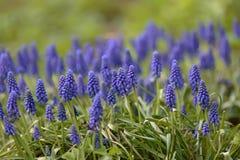 Blauer Muscarivorfrühling auf grünem Gras lizenzfreie stockfotos