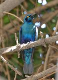 Blauer ohriger Starling Botswana Stockfoto