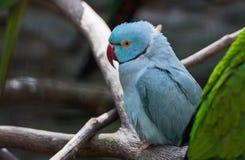 Blauer Papagei Lizenzfreie Stockfotos