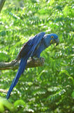Blauer Papagei (auf einem Zweig) Stockfotografie