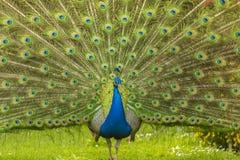 Blauer Pfau, der sein Endstück verbreitet Stockfotografie
