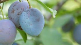 Blauer Pflaumenfall der reifen Früchte auf Baumast stock footage