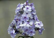 Blauer Phlox Lizenzfreie Stockbilder