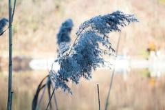 Blauer Phragmites nahe bei dem Fluss Stockfotografie
