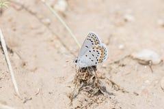 Blauer Plebejus acmon Acmon Schmetterling, der auf Wurzeln steht Stockbild