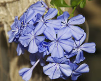 Blauer Plumbago Lizenzfreies Stockfoto
