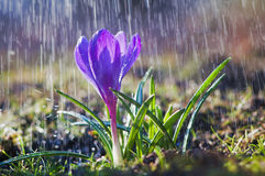 Blauer Regen des Krokusses des schönen Frühlinges im Frühjahr lizenzfreies stockfoto