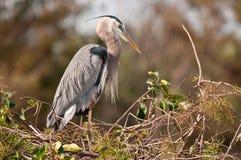 Blauer Reiher auf Nest stockfoto