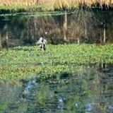 Blauer Reiher in der Teich-Reinigung, die itselfCleaning ist lizenzfreie stockbilder