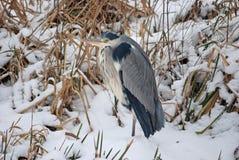Blauer Reiher in einer schneebedeckten Landschaft Lizenzfreies Stockfoto