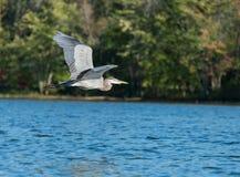 Blauer Reiher Flys über dem See Lizenzfreie Stockfotografie