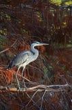 Blauer Reiher im pluvial Wald am Sonnenuntergang Lizenzfreie Stockbilder