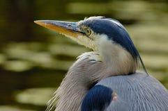 Blauer Reiher (Portrait) Stockfotografie