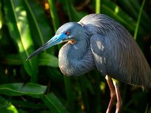 Blauer Reiher-Vogel Lizenzfreie Stockbilder