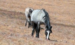Blauer Roan Stallion, der auf Sykes Ridge in der Pryor-Gebirgswildes Pferdestrecke auf der Staatsgrenze Wyomings Montana weiden l Lizenzfreie Stockfotos