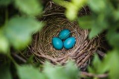 Blauer Robin Eggs in einem Nest Stockbild