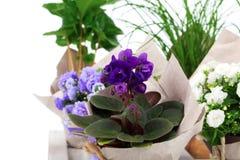 Blauer Saintpaulia stockbilder