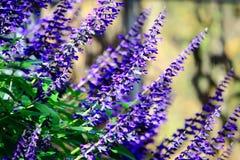 Blauer Salbei Lizenzfreies Stockfoto