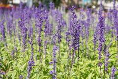 Blauer Salvia-Blumengarten mit bokeh Hintergrund Stockbilder