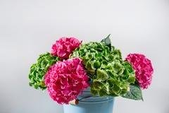 blauer Schüsseleimer grüner und rosa Farbhortensie-Weißhintergrund ein des Bündels Helle Farben Purpurrote Wolke 50 Schatten Lizenzfreie Stockfotos