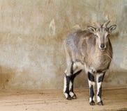 Blauer Schafe Whith Zweig Stockbilder