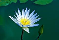 Blauer Schatten der Blume des weißen Lotos im Morgenlicht Stockfotografie