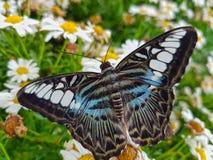 Blauer Scherer-Schmetterling auf weißer Daisy Flowers Closeup Stockfoto