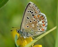 Blauer Schmetterling Adonisses (Polyommatus-bellargus) auf Wicke mit Flügeln schloss Lizenzfreie Stockfotografie