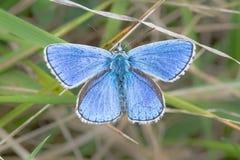 Blauer Schmetterling Adonisses (Polyommatus-bellargus) mit Flügeln öffnen sich Lizenzfreie Stockfotografie