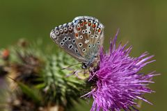 Blauer Schmetterling Adonisses u. x28; Polyommatus-bellargus& x29; Stockbild