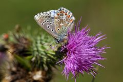 Blauer Schmetterling Adonisses u. x28; Polyommatus-bellargus& x29; Stockfotografie