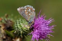 Blauer Schmetterling Adonisses u. x28; Polyommatus-bellargus& x29; Lizenzfreie Stockbilder
