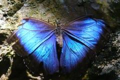 Blauer Schmetterling auf einem Felsen Stockfoto